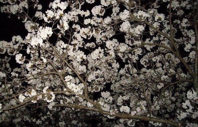 眉山夜桜練?