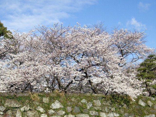 近場で桜見物