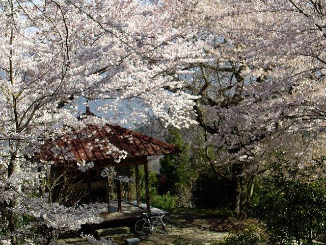 桜・桜・桜・桜