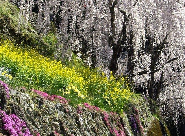 今日も桜!