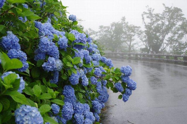 大川原・紫陽花
