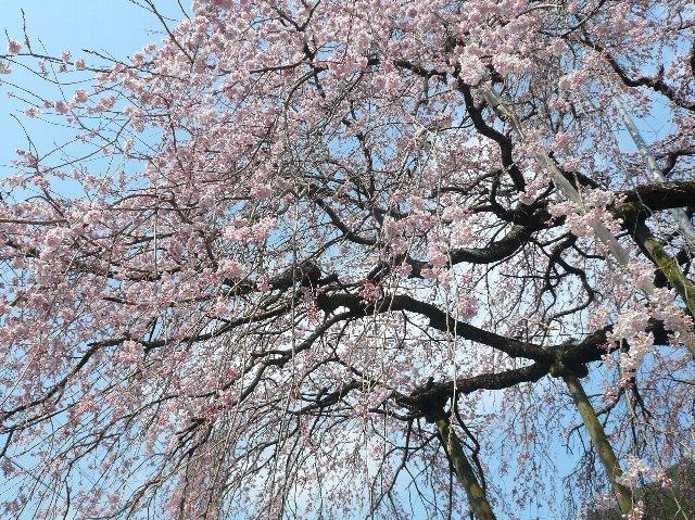 桜と菜の花、そしてラーメン