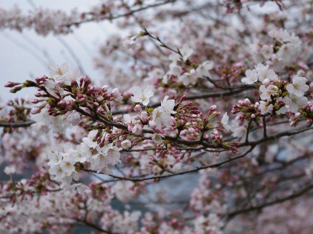 今年も桜堂を訪ねて