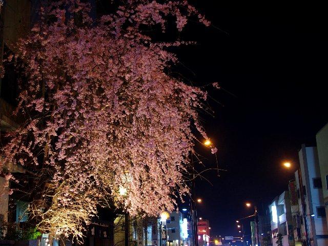 近場の桜②