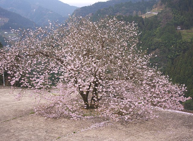 釣り鐘桜と仙台枝垂れ
