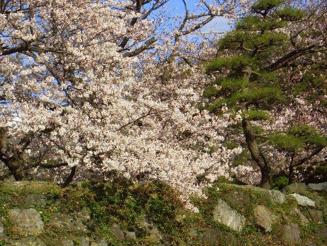 今年最後?の桜