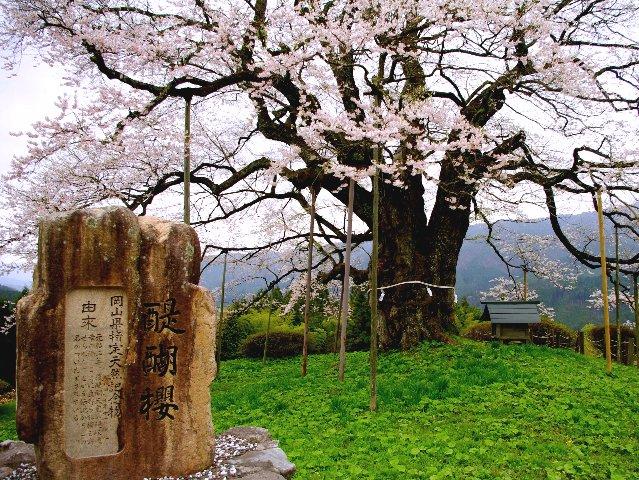 2年越しの思いが叶い、醍醐桜