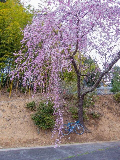 桜巡り~駒ヶ根②~
