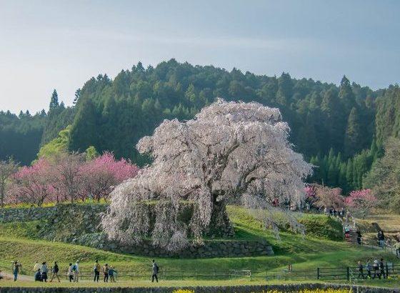 いにしえの都に咲く桜