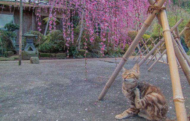 しだれ梅と絶景