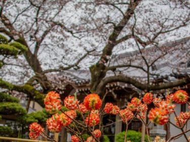 寺町界隈の桜