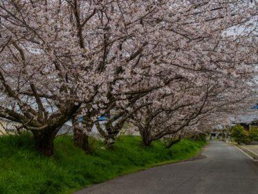近場の桜①