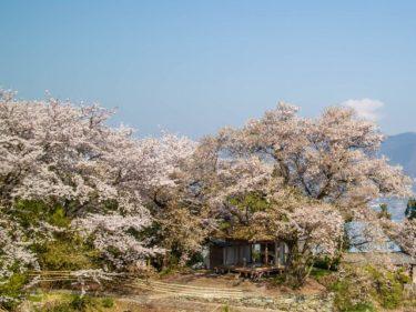 2020年桜