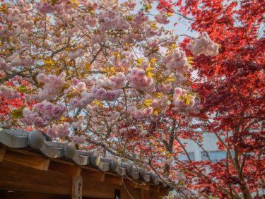 八重桜と牡丹