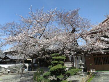 ジテツウ途中の桜③