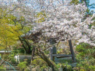 ジテツウ途中の桜⑤
